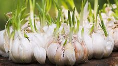 Next time you plant the garlic that's sprouted in your kitchen cupboard you could be contributing to the spread of exotic viruses, say researchers.