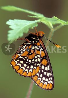 """Michigan, Oakland County Checkerspot Butterfly roosting (Euphydryas phaeton)."" Picture by Danita Delimont buy now as poster, art print and greeting card.."