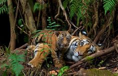 Only three more hours to purchase signed prints by our photographers in honor of #EarthDay. Click on the link in profile to see all the signed prints featured in the Flash Sale that ends at midnight tonight. Purchase this image of a mother tiger resting with her two-month-old cub by @stevewinterphoto for $100. #tigers #conservation #earthday2017 #wildlifephotography