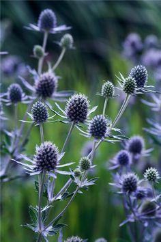 eryngium blue orion