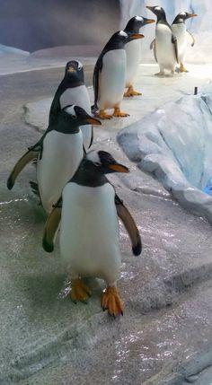 Detroit Zoo, Penguins, Pets, Animals, Animales, Animaux, Penguin, Animal, Animais
