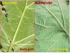 Les caractéristiques principales pour identifier la berce du Caucase et la différencier de la berce laineuse sont la taille, la tige et les feuilles.