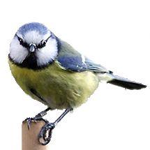 pimpelmees / amkeizer (Vogelweb)