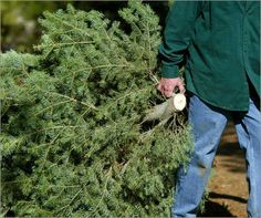Recycle Your Christmas Tree in Littleton