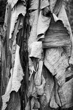 #Ecorce en noir et blanc | #Bark in black and white (Ricardo Gomez, photographer)