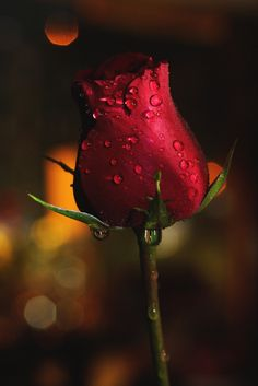 Photograph Simple Rose by Alejandro Miranda Lines on 500px