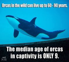 Animal life in captivity: The median age of Orcas in captivity is ONLY 9.