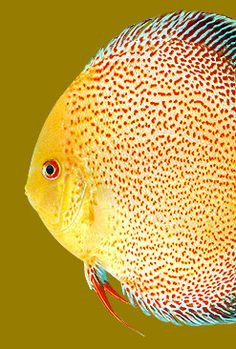 discus strains - Google Search