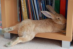 omg my giant flemish did the same thing as this bunn. As a baby he fit on the shelf as he got bigger not so much...