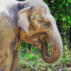 #食事中 の #インドゾウ  #目 が #かわいい  #ズーラシア #横浜 #神奈川 #ゾウ #動物園  #indianelephant #elephant #zoorasia #yokohama #kanagawa #japan #zoo #animal