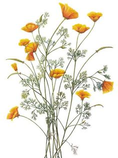 32 ideas for tattoo arm flower botanical illustration California Poppy Drawing, California Poppy Tattoo, Botanical Flowers, Botanical Prints, Botanical Gardens, Wildflower Drawing, California Wildflowers, Impressions Botaniques, Poppies Tattoo