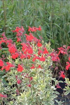 Salvia microphylla 'Caramba'