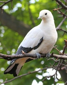 Pied Imperial Pigeon Another species classified in the family Columbidae Pigeons and doves are found in wild beach. Forest on th...