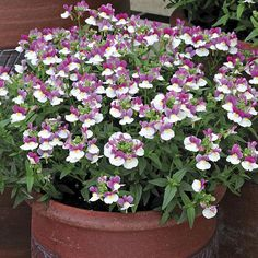 Nemesia Berry White Plants from Mr Fothergill's Seeds and Plants