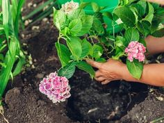 If you ever wished for a dreamy hydrangea garden, you'll love these simple tips for growing healthy, beautiful hydrangeas. From planting to pruning, watering, and fertilizing, you'll have everything you need. #hydrangeas #lanscaping #hydrangeaflowers #pinkhydrangeas #bluehydrangeas #purplrhydrangeas #romanticflowers Rooting Hydrangea Cuttings, Hydrangea Bush, Hydrangea Care, Hydrangea Not Blooming, Hydrangea Flower, Hydrangeas, Large Plant Pots, Large Plants, Potted Plants