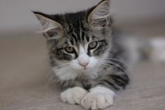 07. Juli 2016 Cats, Animals, Norwegian Forest Cat, Gatos, Animales, Animaux, Animal, Cat, Animais