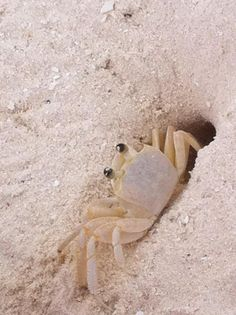 Sand Crab Poses For The Photo But Is Ready To Beat A Hasty Retreat Into