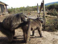 """""""Margi"""" grooming """"Jimmy""""...... Baboon"""