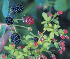 So you want to grow blackberries? First learn how to site, plant, fertilize, and care for them for best results.