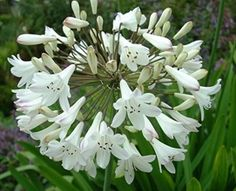 Agapanthus White - Agapanthus - Flowers and Fillers - Flowers by category | Sierra Flower Finder