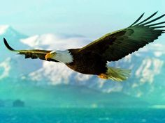 Best picture I have seen of Bald Eagle in flight