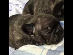 cute puppies videos 5 - cute puppies compilation - french bulldog puppie...