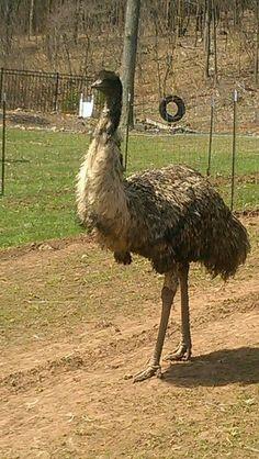 Emu Gaston Gaston, Country Living, Camel, Birds, Australia, Beautiful, Animales, Country Life, Bird