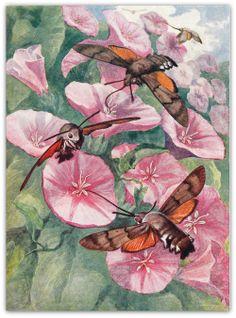 1953 Hummingbird Hawk Moths