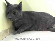 SAFE at Posh Pets! My name is RASIAN. IDA1013611 I'm a neutered male gray dsh. Im about 9 YRS old. ASIAN IS IN NEED OF SOME MEDICAL FOR WHAT SEEMS TO BE A FACIAL INJURY. ***** RASIAN was brought into the shelter as a stray. He was easy to handle so he will probably be a great cat once he is feeling better. RASAIN is about 9 years old and ALREADY NEUTERED.