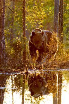 Bear stroll in the l