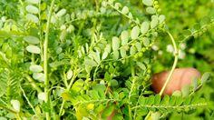 """Phyllanthus urinaria""  a.k.a Meniran"