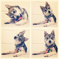 Did someone say...treats? #alaskankleekai