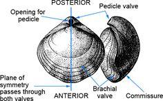Lingulid brachiopods - Google Search