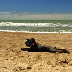 Mike and I took Link on a road trip from Alaska, to WA, ID, CO, AZ, CA and took him to Dog Beach in Sand Diego, we thought this would be him... Sunbathing Miniature Schnauzer by Susana Grimaldi Sheridan