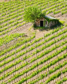 Vineyard in Montalcino, Italy. You must try the Brunello di Montalcino!