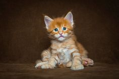 Photographer Captures the Majestic Beauty of Maine Coon Cats | Blaze Press