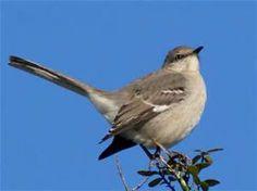 Texas Mockingbird - Bing images
