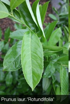 Common Laurel hedging is the most common hedging used in the UK. Its easy to see why. This lush dense shrub is perfect for garden boundaries or single shrub planting. The large fleshy leaves means that laurel has good sound absorbing qualities, making your garden paradise that little more private. Candles of white flowers cover the dence branches during spring, later in the year black cherry like fruit appear. All of our Pot Grown Laurel is produced in the UK by Hedging Plants Direct.