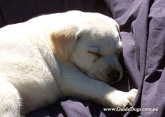 Puppies bred to be guide dogs have to go through a rigorous process before they can start work. | 17 Adorable Guide Dogs In Training That Will Put A Smile On Your Face