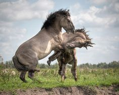 Fair and Honest by Henri Ton, prancing stallions Mane Event, Wild Mustangs, Wild Horses, Beautiful Creatures, Picture Photo, Things That Bounce, Pony, Wildlife, Artwork