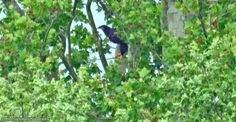 Eaglet, peeking through the foliage on the old sycamore tree.