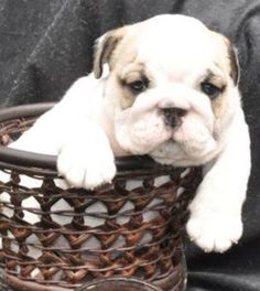 English Bulldog puppy ~ Basket full of cute