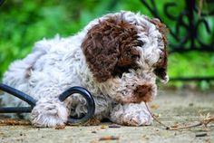 Lagotto Romagnolo Pup ~ Classic Look ~