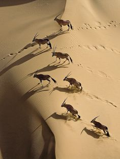Gemsbok herd in Namibia, Africa -- by Michael Poliza