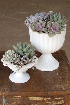 rental centerpieces with succulents, Phoenix Arizona, milk glass compotes with Echeveria shaviana 'Truffles', Echeveria 'Perle von Nurnberg', Echeveria 'Lola', Pachyveria glauca 'Little Jewel', and Sedum spathulifolium 'Capo Blanco'