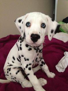 dalmatian puppy, so cute!! ❤❤❤