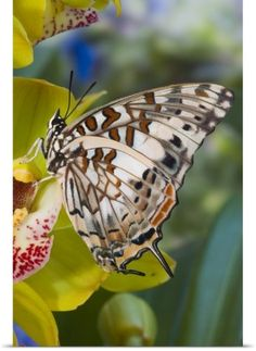 Darrell Gulin Poster Print Wall Art Print entitled Savannah Charaxes (Charaxes etesipe) from Africa, on Orchid, None