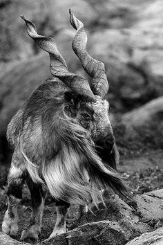 The Majestic Markhor Goat