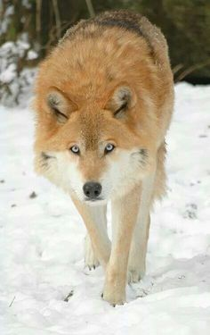 Amazing colored wolf