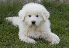 pyrenees, great pyrenees, pyrenees puppy, great pyrenees puppy, looks like the cream golden retriever